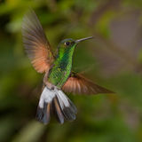 Tiny emerald hummingbird in flight Stock Photography