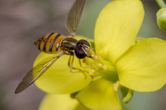 Free Tiny Episyrphus Balteatus Insect On A Primrose Flower Royalty Free Stock Photography - 94493377