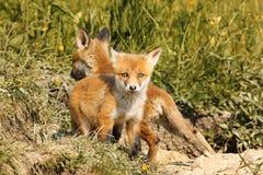 Tiny european red fox cub Royalty Free Stock Photo