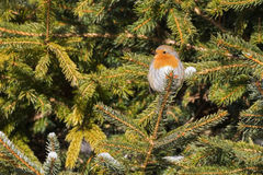 Tiny European robin redbreast bird sitting on pine tree branch a Royalty Free Stock Images
