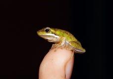 Tiny fallax frog on finger Stock Photos