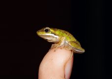 Tiny Fallax Frog On Finger Stock Photos
