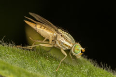 A tiny female fly Stock Photos