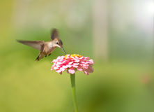 Tiny female Hummingbird feeding on a pink Zinnia Royalty Free Stock Photography