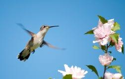 Tiny female Hummingbird hovering Royalty Free Stock Image