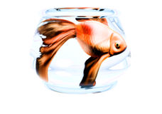 Goldfish in Tiny Bowl Stock Images