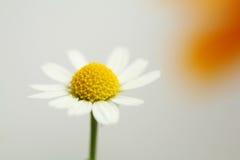 Tiny flower Royalty Free Stock Photo