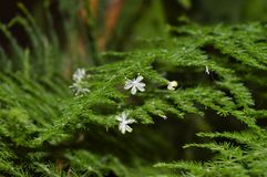 Tiny flowers of asparagus stock photography