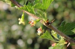 Free Tiny Flowers Gooseberry Plant, Ribes Uva-crispus Stock Image - 178477351