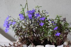 Tiny purple flowers in a vase royalty free stock photography