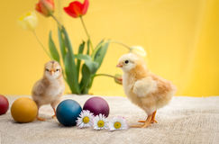 Tiny fluffy Easter chicken Stock Photography