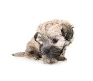 Tiny fluffy puppy Royalty Free Stock Photo