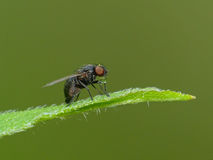 Tiny Fly Blowing A Tiny Bubble Royalty Free Stock Photo