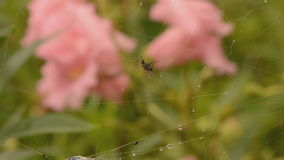 Tiny fly cought in spiders web part 2 Stock Photo