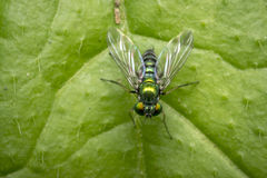 Tiny fly on a leaf Royalty Free Stock Images