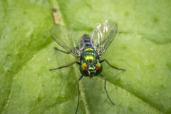 Tiny fly on a leaf Royalty Free Stock Image