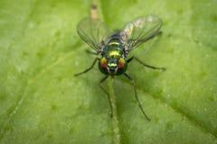 Tiny fly on a leaf. Tiny green fly on a leaf Royalty Free Stock Photos