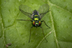 Tiny fly on a leaf Royalty Free Stock Photo