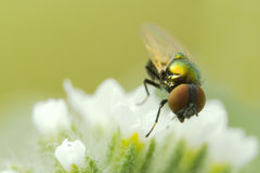 Tiny Fly Stock Images