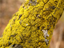 The tiny forest. Bright Yellow-green moss grows on a dead tree branch Royalty Free Stock Photos