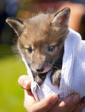 Tiny fox cub being held Royalty Free Stock Photos