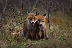 Tiny Foxes Royalty Free Stock Photo