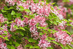 Tiny fragrant pink Syringa. Microphylla flowers blooming in the garden in spring and late summer Royalty Free Stock Photos