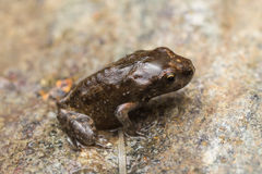 A tiny frog, 1cm in size Royalty Free Stock Images