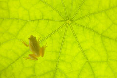 Tiny Frog on a Green Leaf Royalty Free Stock Photo