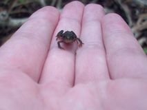 Tiny Frog Royalty Free Stock Photo