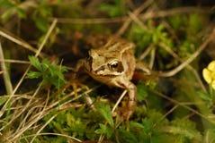 Tiny frog Stock Photography