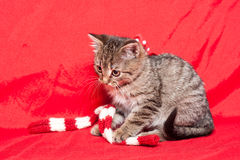 Tiny furball cutie. Shot of gorgeous, cute, funny little tabby kitten Royalty Free Stock Photos