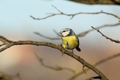 Tiny garden bird on branch Stock Image