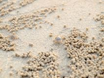 Tiny Ghost Crabs digging holes in the sand. Nature stock photo