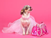 Tiny glamour dog with pink accessories.  Stock Photo
