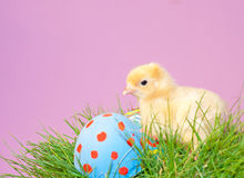 Tiny gold colored Easter chick in grass Royalty Free Stock Photos