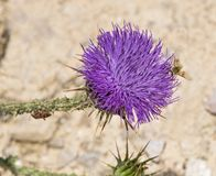 A Golden Beefly on Palestinian Thistle royalty free stock photo