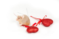 Tiny golden mouse sits on a white background next to two shiny decorative red hearts. He has lovely paws Royalty Free Stock Images