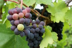 Tiny Grape Cluster. Blue, green and purple colored small wine grape cluster Stock Images