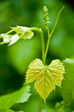 Tiny grapes growing on the vine Stock Images