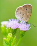 Tiny Grass Blue, Zizula hylax hylax. One of the smallest butterflies in the world, Thailand Stock Images