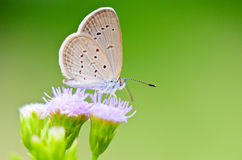 Tiny Grass Blue, Zizula hylax hylax. One of the smallest butterflies in the world, Thailand Royalty Free Stock Image