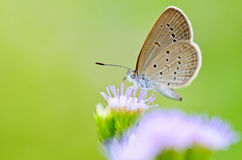 Tiny Grass Blue, Zizula hylax hylax. One of the smallest butterflies in the world, Thailand Royalty Free Stock Photo