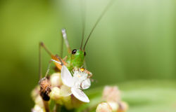 Tiny grasshopper Royalty Free Stock Photo