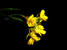Tiny grasshopper. Grasshopper on yellow flowers over black background Royalty Free Stock Photography