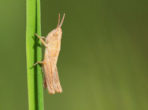 Tiny grasshopper Stock Photography