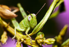 Tiny grasshopper close up. Royalty Free Stock Image