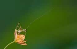 Tiny grasshopper insect. With very long antennae on a tiny flower Royalty Free Stock Images