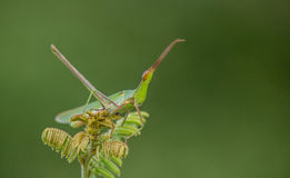 A tiny grasshopper Sitting on a plant camouflage Stock Images