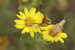 Tiny grasshopper on a yellow flower.  Stock Photo